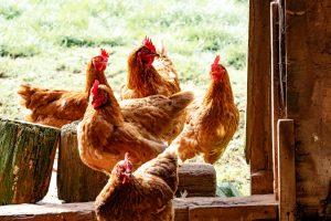 physiologike-chicken